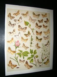 Kirby 1907 Larentia, Carpet Moths & Rose Flower 50. Antique Print